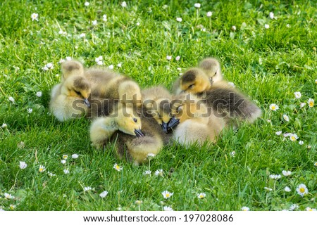 Clutch of eight fluffy goslings falling asleep - stock photo