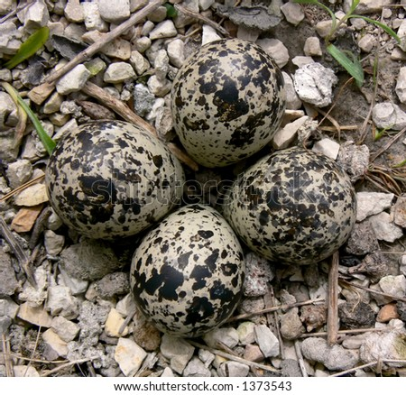 Clutch of four killdeer eggs on gravel, in spring.