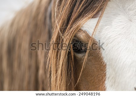 Clydesdale horse eye close up