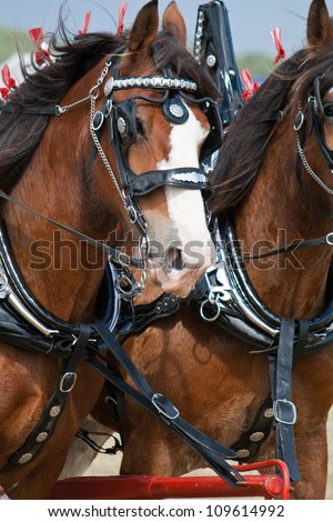 Clydesdale Stock Images Royalty Free Images Amp Vectors