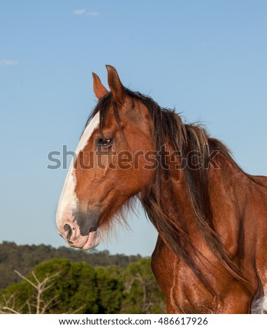 clydesdale horses are very large and heavy and can pull great weights. Photographed near Hervey Bay. Australia