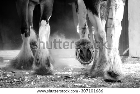Clydesdale horses legs detail monochrome - stock photo