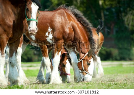 Clydesdales horse horses grazing on pasture - stock photo