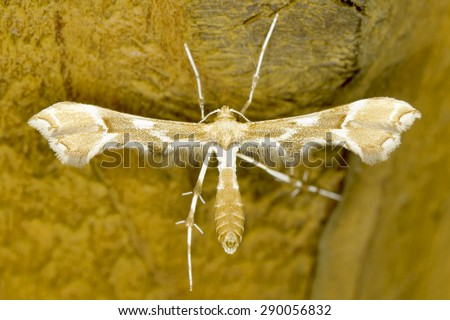 Cnaemidophorus rhododactyla moth in natural habitat - stock photo