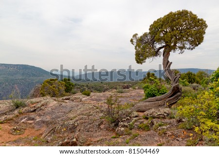 CO-Black Canyon of the Gunnison- National Park-Before looking down into the Black Canyon of the Gunnison, I spotted this magnificent twisted juniper tree. - stock photo