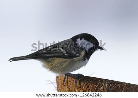 Coal tit, (Parus ater) bright background