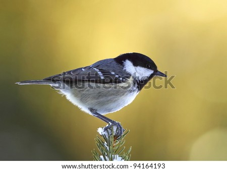 Coal tit, (Parus ater) on a,snowy fir branch - stock photo