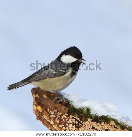 Coal tit, (Parus ater) on a snowy, mossy, fungal stump - stock photo