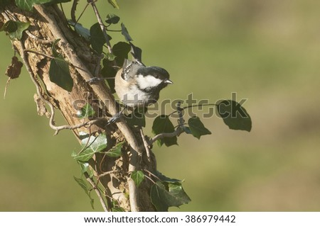 Coal Tit (Periparus ater) perched on ivy covered branch