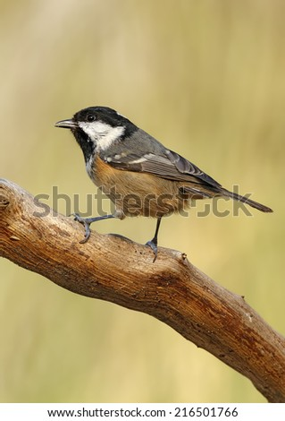 coal tit with unfocused background in their natural environment
