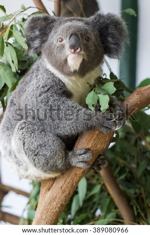 coala bear eating eucaliptus - stock photo