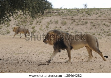 Coalition of two Black-maned African Lions (Panthera leo) KAMQUA, Kgalagadi trans-frontier park, South Africa FEB 7 2013 - stock photo