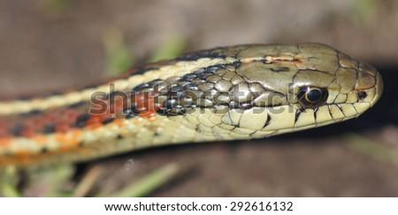 Coast Gartersnake (Thamnophis elegans terrestris) close-up - stock photo