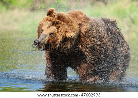 Coastal Alaskan brown bear shakes off water during a fishing break. - stock photo
