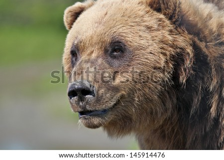 Coastal Brown Bear - close up head - stock photo
