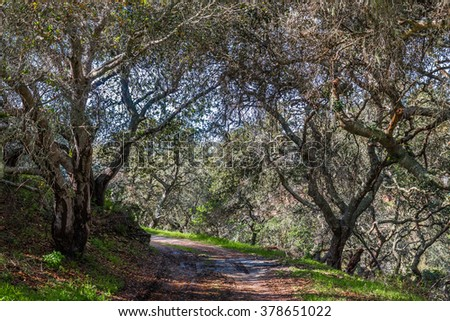 Coastal Live Oak trees (Quercus agrifolia) line a hiking trail in the hills of Monterey, California, as light shines through the branches leaving a contrasting pattern on the ground. - stock photo