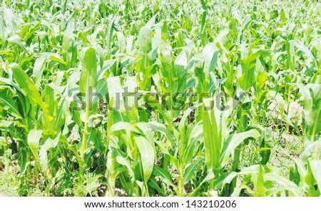 Cob of Corn Growing in Corn Field - stock photo