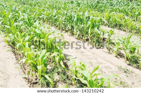 Cob of Corn Growing in Corn Field - stock photo