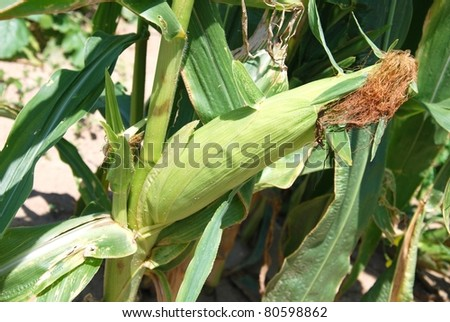 Cob of Corn Growing in Corn Field