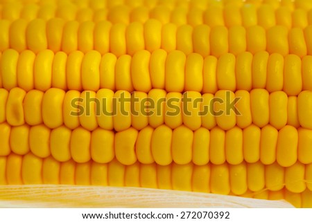 Cob of yellow sweet ripe raw corn.  - stock photo