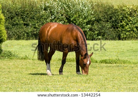 Cobbed mare grazing among buttercups