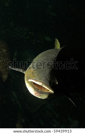 Cobia (Rachycentron canadum) are perciform marine fish, the Rachycentridae. They have elongate fusiform bodies and broad, flattened heads. - stock photo