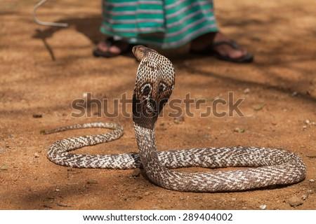 cobra - stock photo