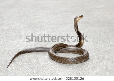 Cobra on the floor - stock photo