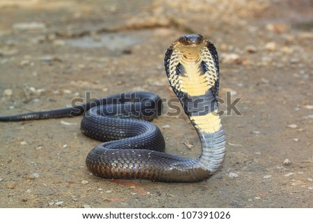 Cobra snake - stock photo