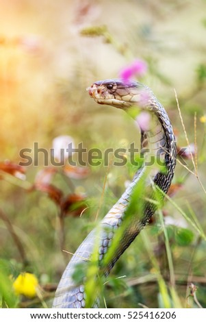 Cobra snake in natural habitats of Thailand