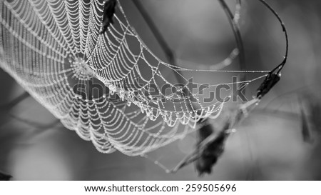 Cobweb in dew drops early in the morning. Rain drops on a spiderweb. - stock photo