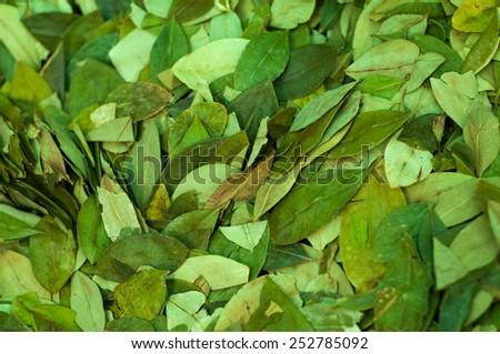 Coca leaves - stock photo