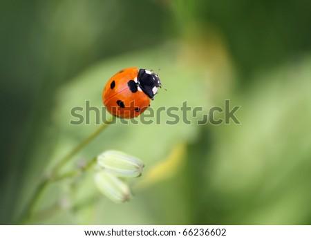 Coccinella septempunctata - stock photo