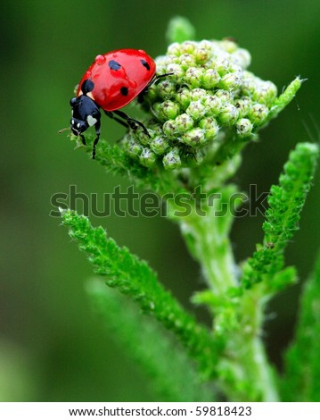 Coccinelle Bug - stock photo