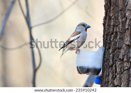 Coccothraustes coccothraustes, Hawfinch. Russia, Moscow, Timirjazevsky park. Wild bird in a natural habitat. Wildlife Photography. - stock photo