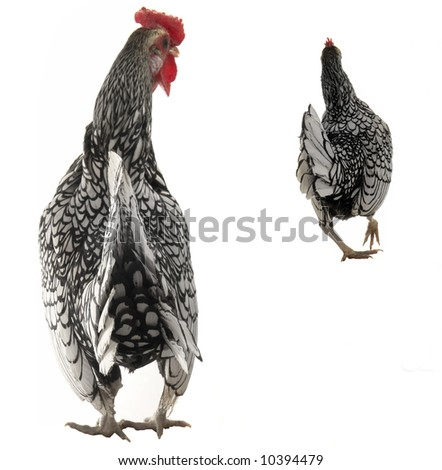 cock and  hen on a white background