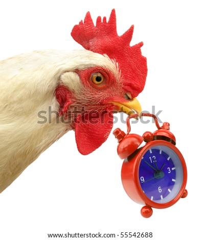 Cock chanticleer rooster is carrying red alarm clock - stock photo