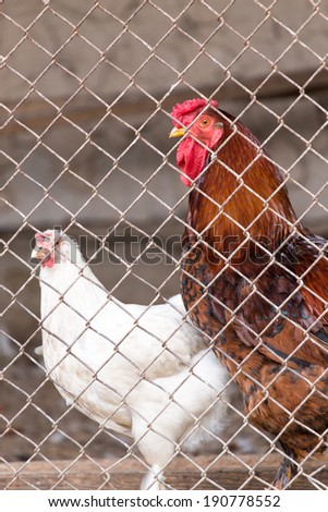 Cock with chicken in a cage - stock photo