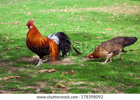 Cock with hen walk on the green meadow. - stock photo