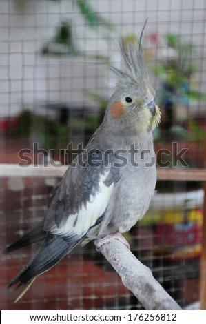 Cockatiel (Nymphicus hollandicus) in cage  - stock photo