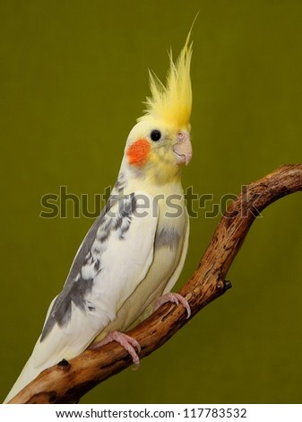 cockatiel parrot resting on a branch on green background - stock photo