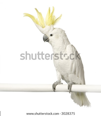 Cockatoo in front of a white background - stock photo