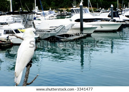 Cockatoo on Hamilton Island with boats in the background