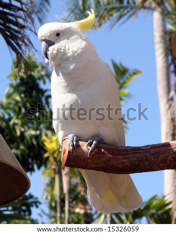 cockatoo sitting on a perch - stock photo