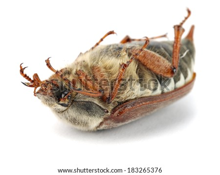 Cockchafer, Melolontha melolontha, also known as May bug on a white background - stock photo