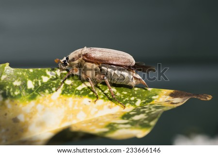 Cockchafer (Melolontha melolontha) on a leaf. The Netherlands. - stock photo