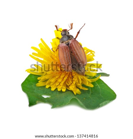 cockchafer (melolontha) or may bug on white - stock photo