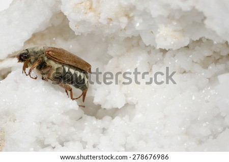 cockchafer on minerals - stock photo
