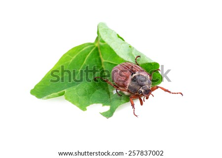 cockchafer or may bug (Melolontha melolontha)  - stock photo