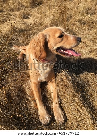 Cocker spaniel dog in the field